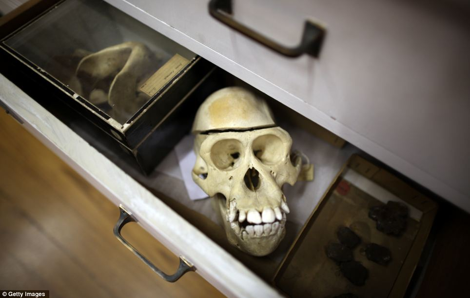 Stored away: A primate skeleton is kept in a drawer with other specimens
