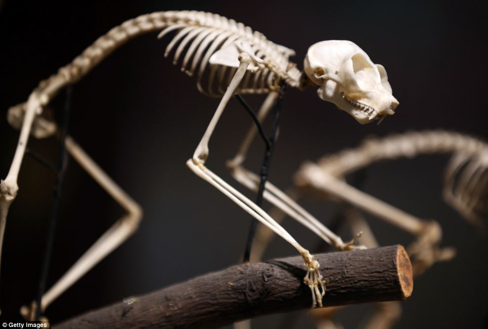 Not so deadly now: The skeleton of a Loris is shown on a tree branch. Slow lorises are a group of primates from southeast Asia and possess a very rare trait for a mammal ¿ a toxic bite