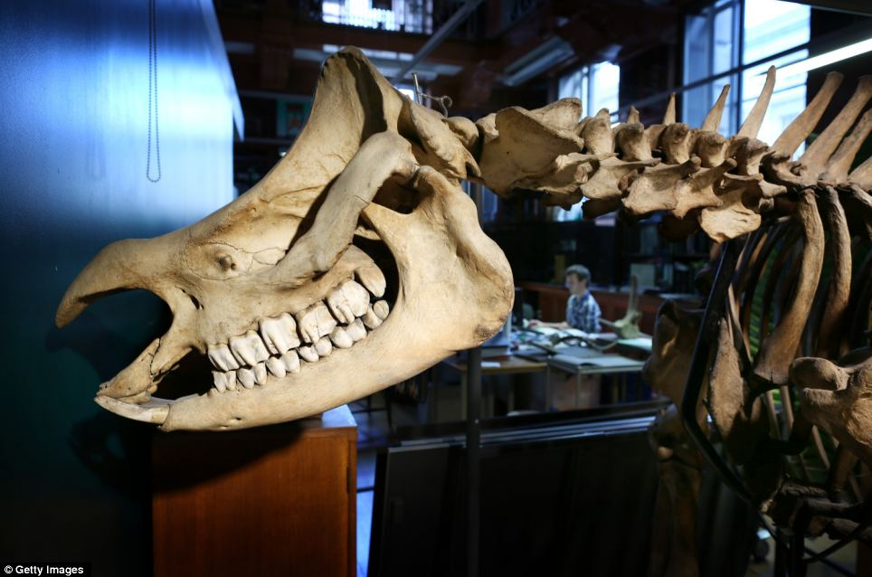 Giant beast: The skeleton of an Indian One-Horned Rhino is pieced together at the museum