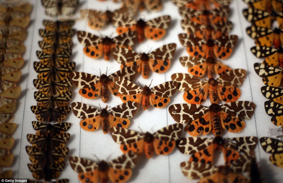Row upon row: A tray of preserved butterflies is displayed