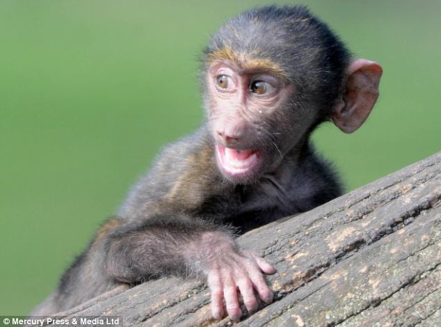 One of the 15 new born baby Olive Baboon monkeys, at Knowsley Safari Park
