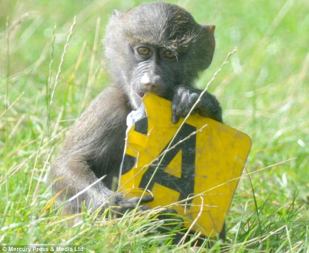 This baby baboon gets an 'A' for effort, as he learns how to bite on part of a car registration plate after being born at Knowsley Safari Park in Merseyside.