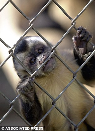 A Capuchin monkey looks out of it's cage at the Alameda Park Zoo Saturday, Dec. 1, 2001, in Alamogordo, N.M