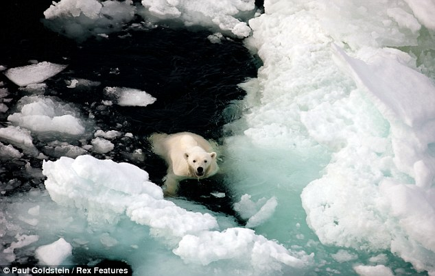 The stunning creatures continued to swim right under the bow of the ship. At first the astonished tourists did not realise they were fleeing from the male bear