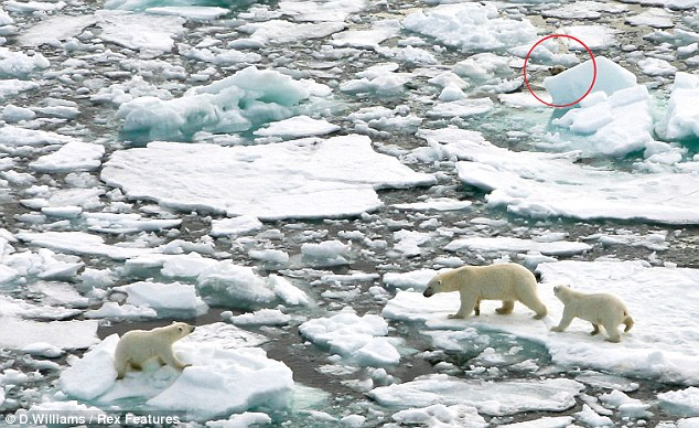 Danger on the horizon: The huge male polar bear (circled) pokes his head out from behind a chunk of ice as he watches the mother and her two cubs