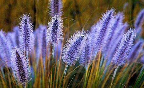 Purple patch: Pennisetum 'Cassian'