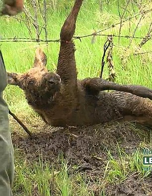The young moose calf is caught in the barbed wire, to the dismay of documentary-makers