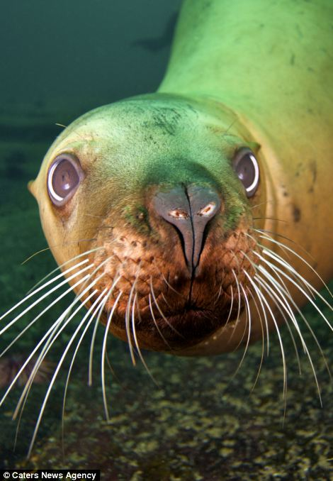 Well hello there: The sea lion plays with his reflection