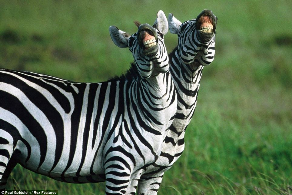 Whin-nying smile: It may look like they are having a laugh with the photographer, but these Kenyan zebras are taking scent