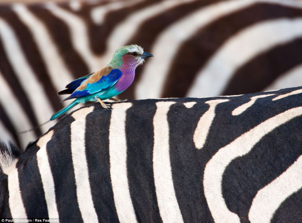 Life in colour: A roller with bright paradise patterns perches on the back of a zebra at Masai Mara, Kenya