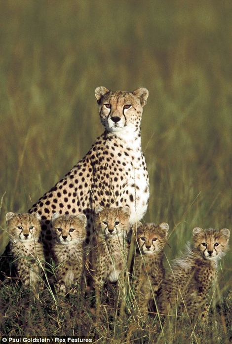Motherly love: A cheeta mother keeps her cubs close