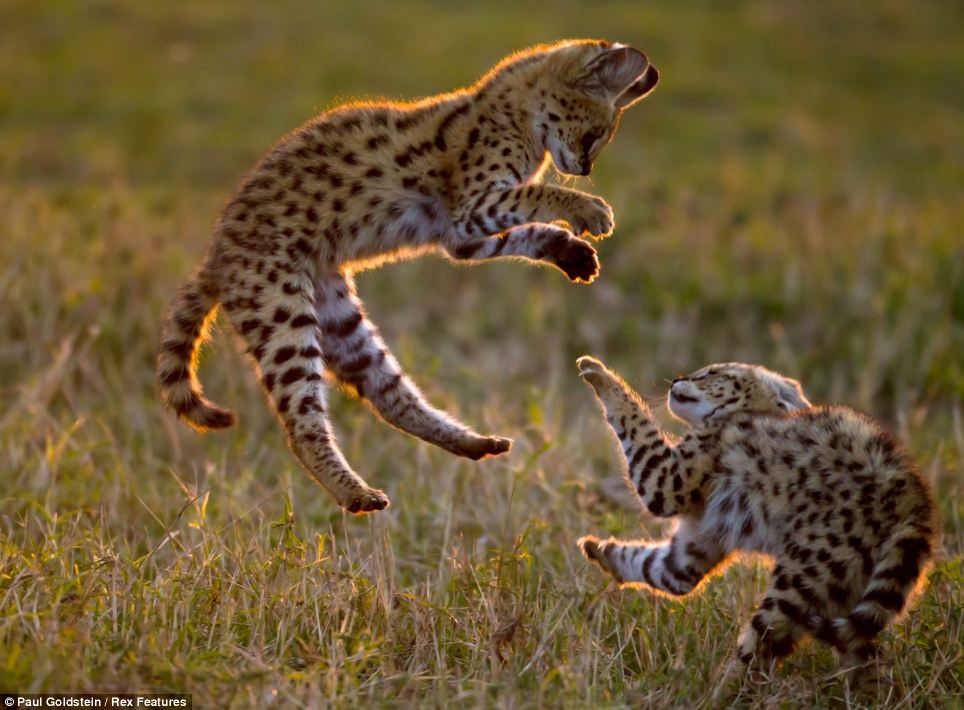 A real catfight: Airborne Serval kittens playfully grapple with each other as the sun sets over Masai Mara