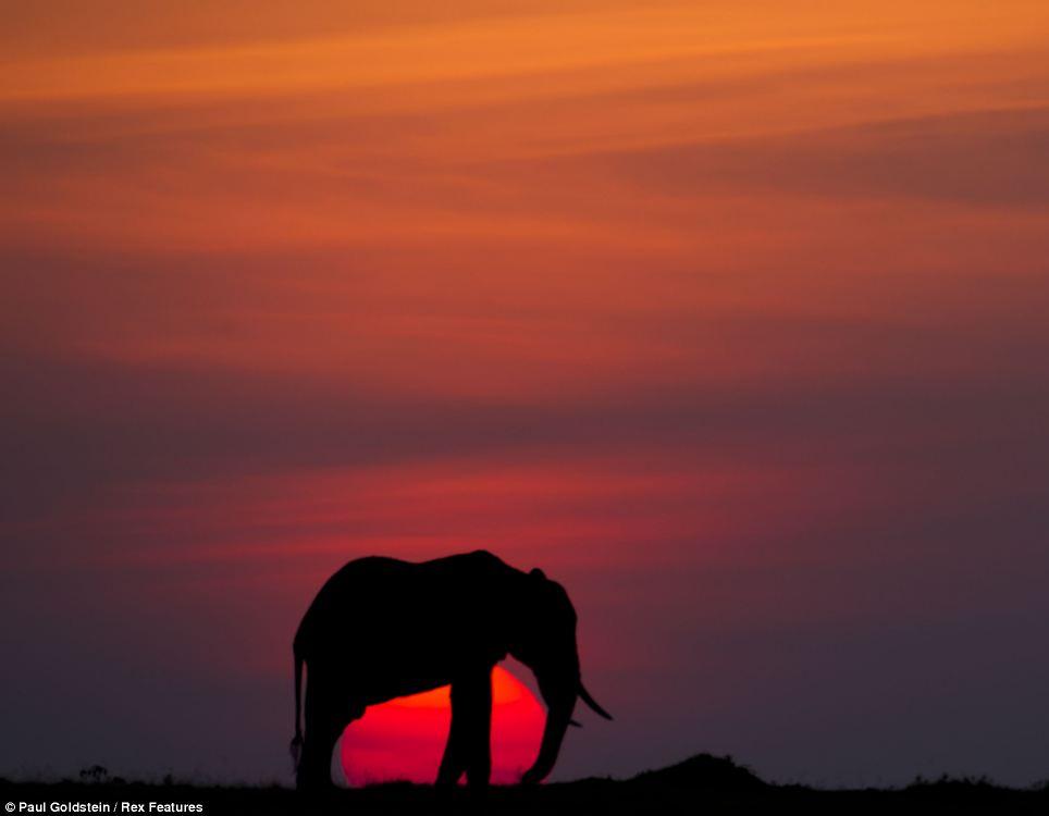 Paradise end: A red sun sets over Masai Mara as a majestic elephant  walks across the plains