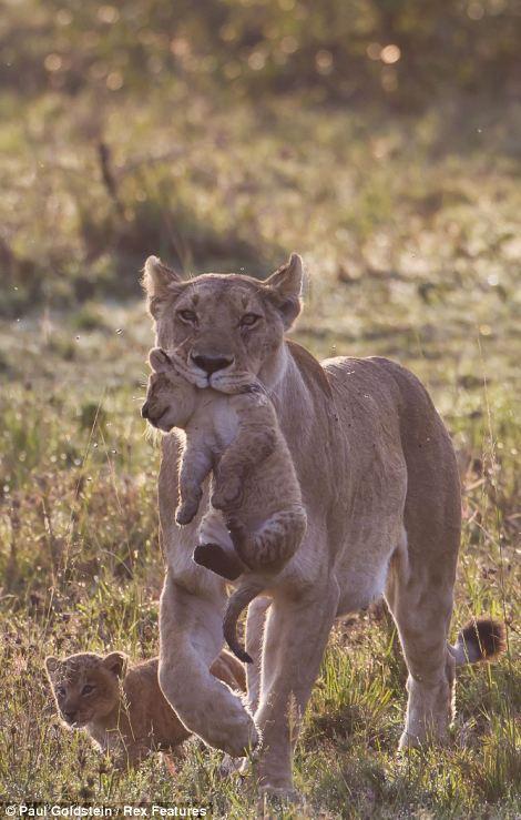 Lion mother with cub, Masai Mara, Kenya