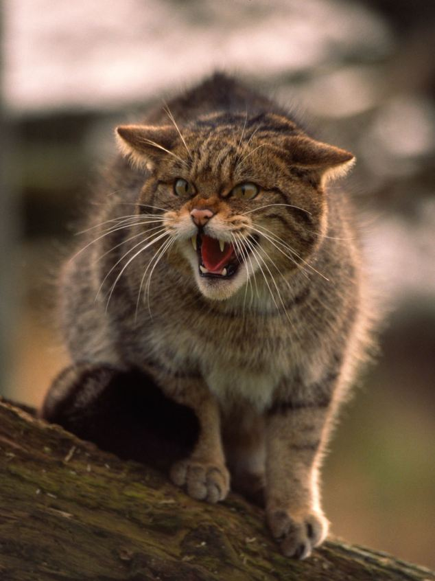 Scottish Wildcats could be extinct within months, researchers have warned