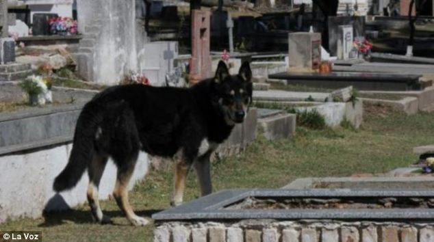 His Masters Grave: The German Shepherd ran away from the family home shortly after Mr Guzman's funeral and miraculously found his resting place