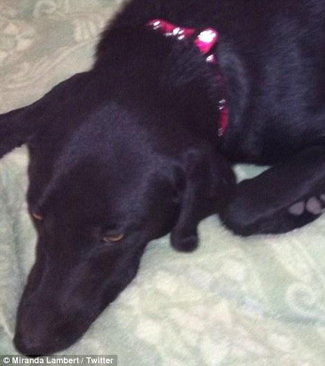 Missing Loretta: Miranda is asking Twitter fans to help find her Labrador