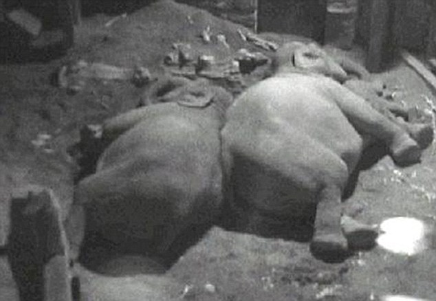 Jumbo slumber: Two elephants sleep side-by-side on the sand in their enclosure at Chester Zoo