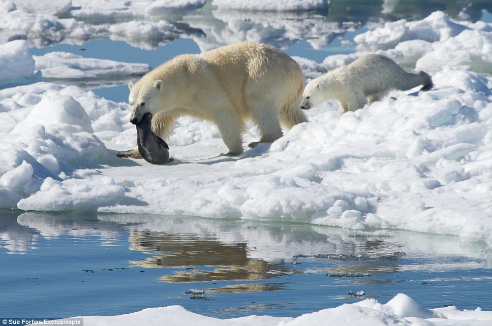 Adult polar bears kill seals by biting their heads and crushing their skulls. Young cubs are totally dependent on their mother for food