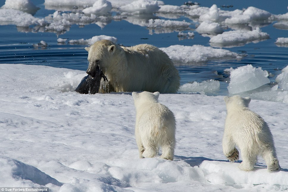 The mother polar bear emerges from the murky waters holding a baby seal in its mouth and her cubs who have been waiting quietly come bounding over