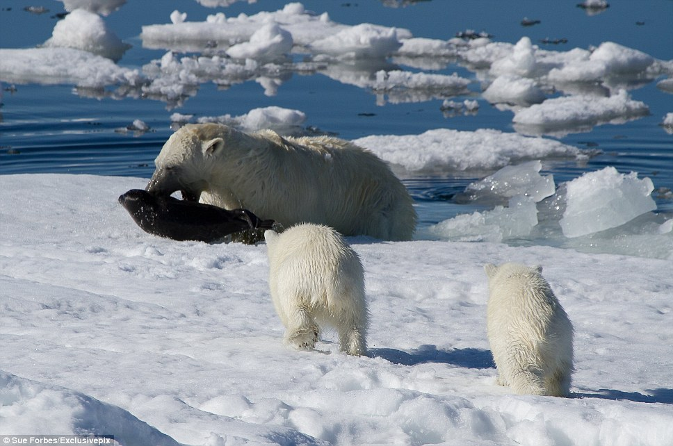 The polar bear is the most carnivorous member of the bear family, and most of its diet consists of ringed and bearded seals