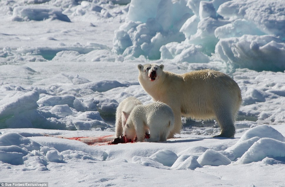 Mature bears tend to eat only the calorie-rich skin and blubber of the seal, whereas younger bears consume the protein-rich red meat