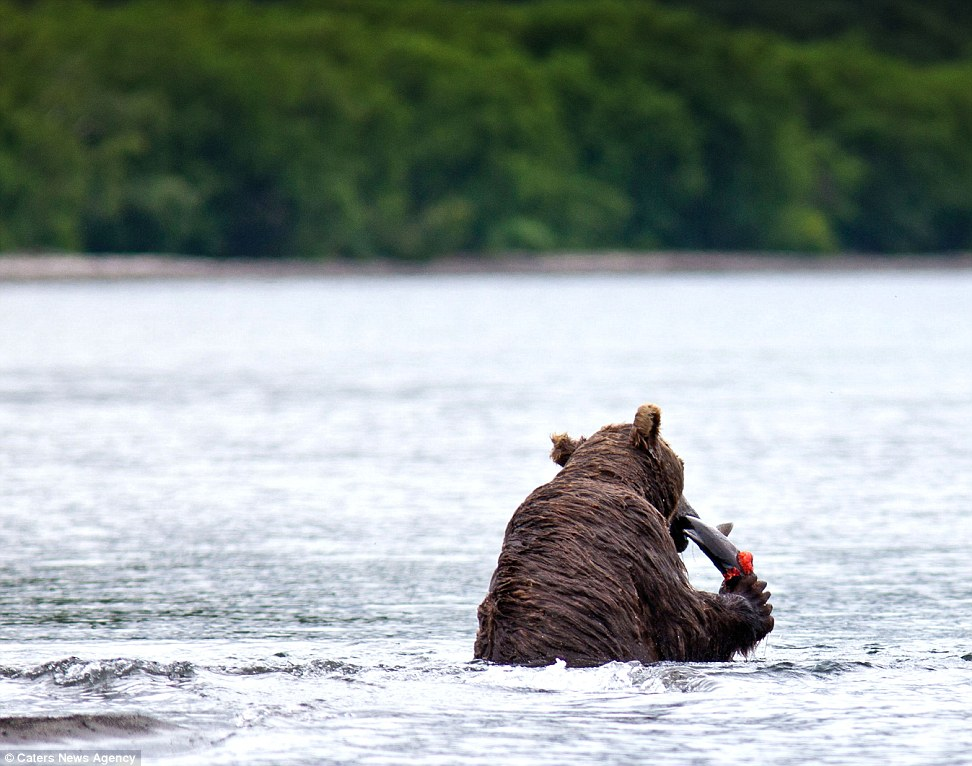 The brown bear surfaces with a fish - bears feed mostly on spawning salmon in the Kamchatka region. Such fish are abundant in the area which explains the bear's enormous size