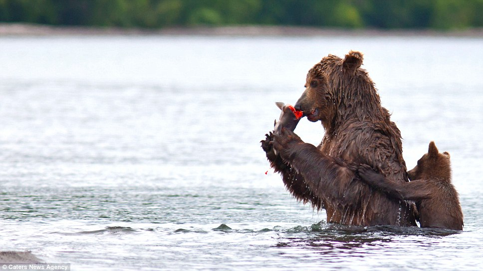 At the peak of spawning, when there is usually a glut of fish to feed on, bears may eat only the most nutrious parts of the salmon such as the eggs and head