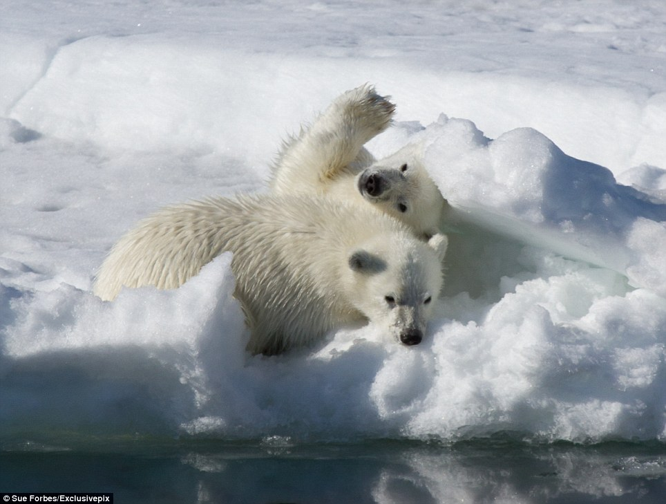 At least someone got fed: The polar cubs have got nothing to worry about thanks to their seal cub feast