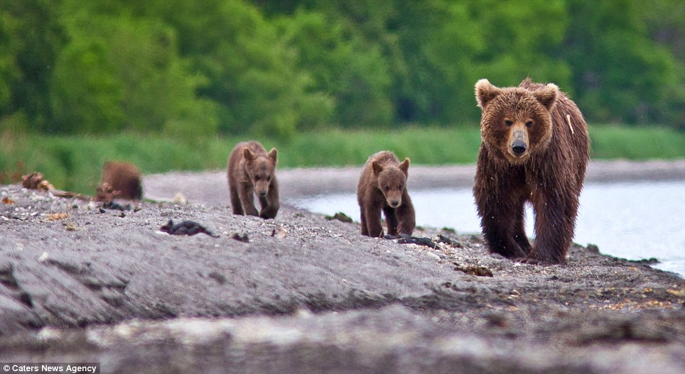Pleeeease can we have something to eat now? Hopefully the cubs were luckier the next time their parent spotted some fish