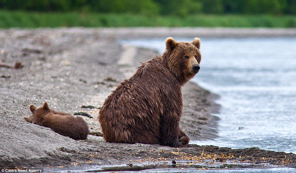 Paws for thought: The cubs have a lie down while their parent surveys the water for fish