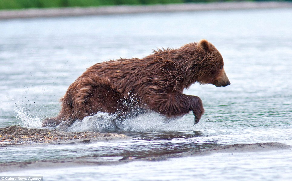 Suddenly the bear leaps into the water and makes a dart for a fish. In the summer, brown bears gains up to 180 400lbs of fat, on which they relies on  through the winter