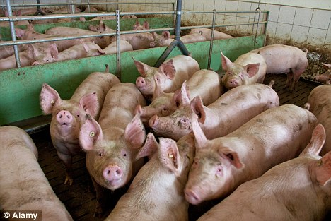 Culled: Pigs are being culled as farmers struggle to afford feed
