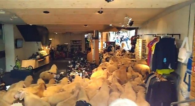 Ewe know what it's like when you've spotted a bargain: The sheep drove the shop' s owners baa-my when they flocked in and caused thousands of pounds worth of damage