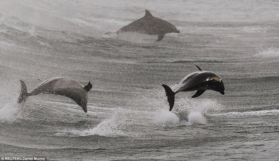 On the move: Dolphins cover huge distances during migration and at this time of year they head south to the cooler waters.