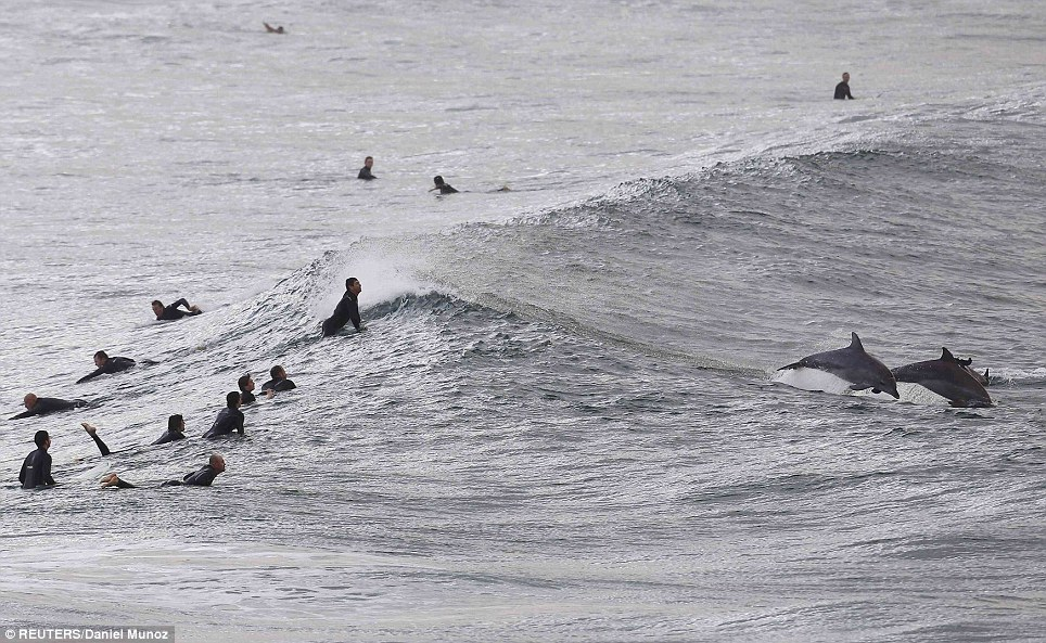 The playful dolphins wasted no time in showing the surfers on Bondi Beach how to make the most of the waves