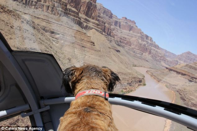 Woof air: Brave Oscar, pictured here taking a helicopter ride over the Grand Canyon, has died in California