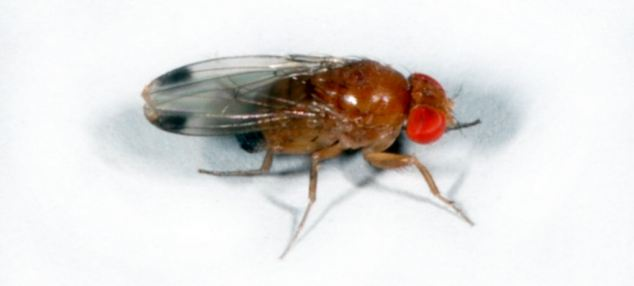 The fly is easy to spot due to its red eyes and black bands on its body