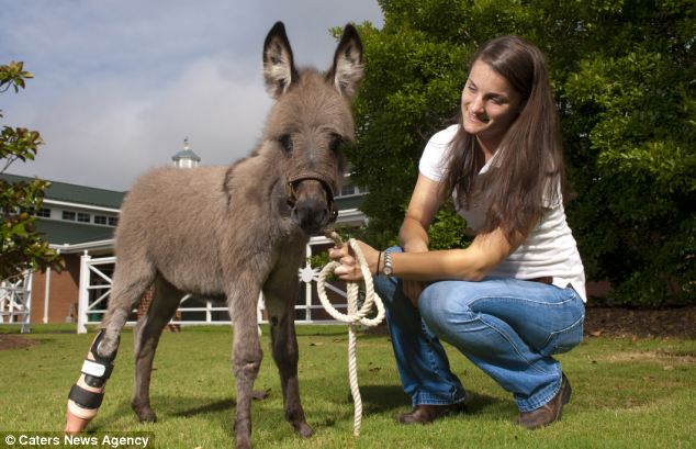 Miniature donkey Emma, pictured with her owner Cece Smith, proudly displaying her prosthesis limb which allows her to stand