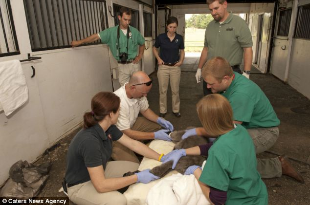 A team of doctors and surgeons from Auburn University, Alabama, carefully fit Emma with her latest prosthesis