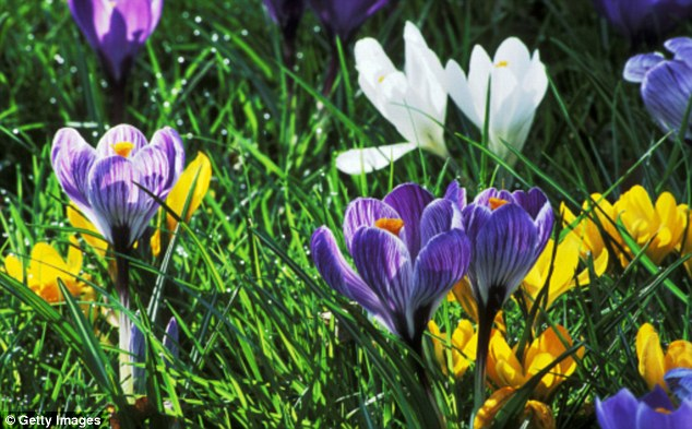 Focus on the crocus! They are the most adept plant for this time of year