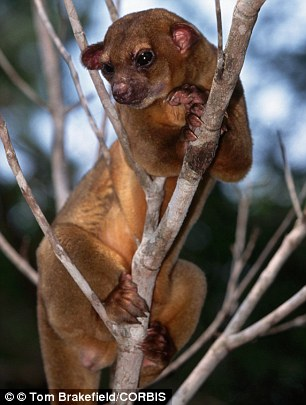 Exotic creatures: Authorities seized animals including a tarantula, pictured left, and a kinkajou, a rainforest animal, pictured right (stock photos)