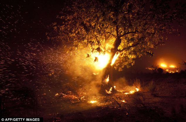 Flames: A tree burns during a forest fire in Domeno city, near Valencia in the early hours of September 24