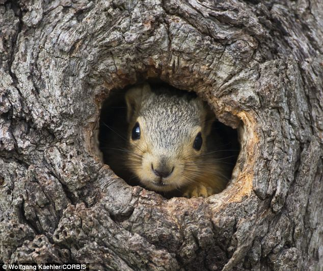 Canny savers: A fox squirrel peeks from its nest in an old tree trunk. Berkeley psychologists say humans could learn a thing or two from the cute rodents about saving for the future