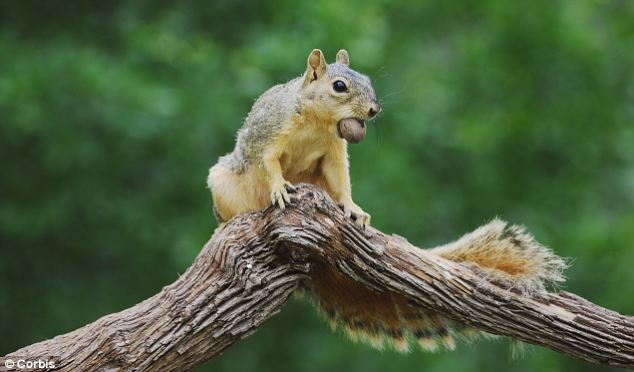 Yummy pecan: The Berkeley team are tracking up to 70 fox squirrels to map their territories and study their 'caching behavior' - the system they use to hoard and retrieve different kinds of nuts