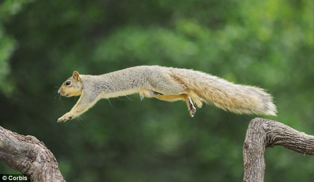 Athletic: The fox squirrel is the largest species of tree squirrel native to North America, with a range extending throughout the east of the U.S.