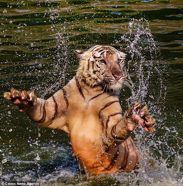 The fearsome tiger splashing around and showing off