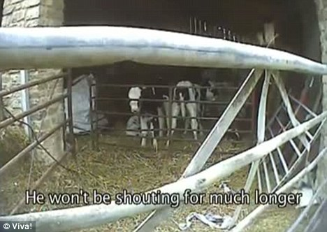 Death row: The video shows the cruel treatment the animals are subjected to before they are killed