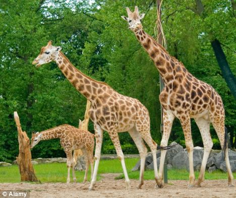 (File picture) A study has found 76 per cent of zoos, including aquariums, aviaries and petting farms, breached at least one basic requirement regarding health, housing or treatment. Picture is a giraffe at Chester Zoo