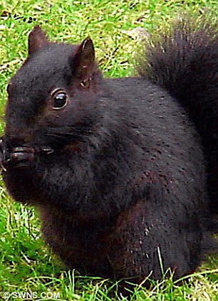 Composite image of the four known types of squirrel which are known in the UK, red, grey, white and black